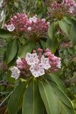 Λουλούδι του latifolia Kalmia στις ανθίσεις Στοκ εικόνα με δικαίωμα ελεύθερης χρήσης