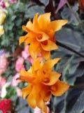 Λουλούδι του squarrosa Aphelandra Στοκ Εικόνες