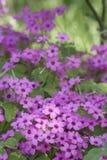 λουλούδι τριφυλλιού στοκ φωτογραφία με δικαίωμα ελεύθερης χρήσης