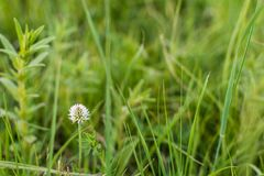 Λουλούδι τριφυλλιού Στοκ φωτογραφίες με δικαίωμα ελεύθερης χρήσης
