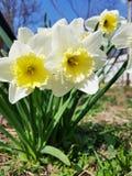 Λουλούδι τριών ναρκίσσων στην άνοιξη στοκ φωτογραφία με δικαίωμα ελεύθερης χρήσης