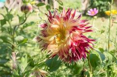Λουλούδι των λουλουδιών νταλιών σε έναν σπιτικό κήπο λουλουδιών Η μέλισσα συλλέγει το νέκταρ από την ντάλια closeup Ένα θερινό λο στοκ φωτογραφίες