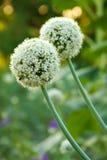λουλούδι τόξων Στοκ φωτογραφία με δικαίωμα ελεύθερης χρήσης