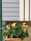 Λουλούδι φλαμίγκο ή λουλούδι αγοριών Στοκ Εικόνα