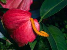 Λουλούδι φλαμίγκο ή Anthurium κόκκινη και πορτοκαλιά κινηματογράφηση σε πρώτο πλάνο ανθών scherzerianum στο θερμοκήπιο, εκλεκτική Στοκ φωτογραφίες με δικαίωμα ελεύθερης χρήσης