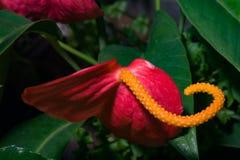 Λουλούδι φλαμίγκο ή Anthurium κόκκινη και πορτοκαλιά κινηματογράφηση σε πρώτο πλάνο ανθών scherzerianum στο θερμοκήπιο, εκλεκτική Στοκ Εικόνες