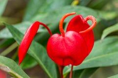 Λουλούδι φλαμίγκο ή Anthurium κόκκινη κινηματογράφηση σε πρώτο πλάνο ανθών scherzerianum στο θερμοκήπιο με την εκλεκτική εστίαση Στοκ Εικόνες