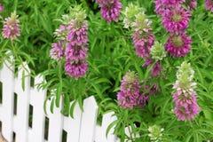 λουλούδι φραγών Στοκ Εικόνες