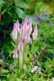 Λουλούδι φτερών ` φλαμίγκο argentea ` Celosia Στοκ φωτογραφίες με δικαίωμα ελεύθερης χρήσης