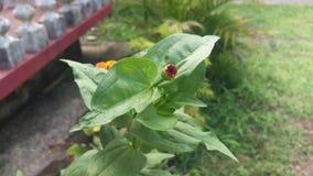 Λουλούδι φύσης της Σρι Λάνκα στοκ εικόνες με δικαίωμα ελεύθερης χρήσης
