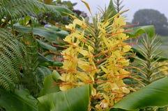 Λουλούδι χαρακτηριστικό των Αζορών roca-de-Velha στοκ φωτογραφίες με δικαίωμα ελεύθερης χρήσης