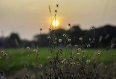 Λουλούδι/λουλούδι χλόης με τα ελαφριά, όμορφα λουλούδια ηλιοβασιλέματος από το κράσπεδο στοκ εικόνες