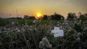 Λουλούδι/λουλούδι χλόης με τα ελαφριά, όμορφα λουλούδια ηλιοβασιλέματος από το κράσπεδο στοκ εικόνες με δικαίωμα ελεύθερης χρήσης