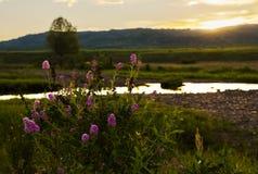 Λουλούδι χλόης στο ηλιοβασίλεμα Στοκ Εικόνες