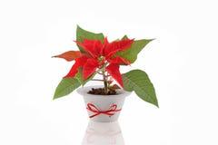 λουλούδι Χριστουγέννω&nu Στοκ φωτογραφίες με δικαίωμα ελεύθερης χρήσης