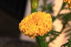 λουλούδι χρυσό Αυτό όμορφο λουλούδι Εστίαση στο λουλούδι πηγών Στοκ Εικόνα