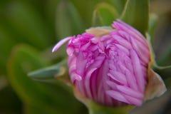 Λουλούδι ύπνου Στοκ φωτογραφία με δικαίωμα ελεύθερης χρήσης