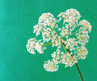λουλούδι aegopodium Στοκ φωτογραφία με δικαίωμα ελεύθερης χρήσης