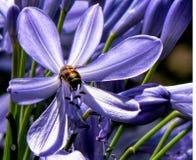 Λουλούδι Agapanthas Στοκ εικόνα με δικαίωμα ελεύθερης χρήσης