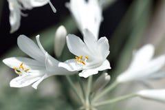 Λουλούδι Agapanthus στοκ φωτογραφίες