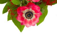 Λουλούδι Anemone με τα πράσινα φύλλα Στοκ Φωτογραφίες