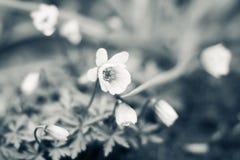 Λουλούδι Anemone στον κήπο Στοκ φωτογραφία με δικαίωμα ελεύθερης χρήσης