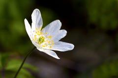λουλούδι anemone Στοκ εικόνα με δικαίωμα ελεύθερης χρήσης