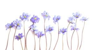 Λουλούδι Anemone Hepatica άνοιξη που απομονώνεται στο άσπρο υπόβαθρο Στοκ Εικόνες