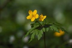 Λουλούδι Anemone ranunculoides Στοκ εικόνα με δικαίωμα ελεύθερης χρήσης