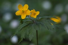 Λουλούδι Anemone ranunculoides Στοκ φωτογραφία με δικαίωμα ελεύθερης χρήσης