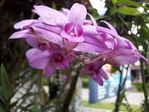 Λουλούδι Anggrek Στοκ Εικόνες