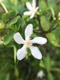 Λουλούδι antidysenterica Wrightia στον κήπο φύσης Στοκ φωτογραφία με δικαίωμα ελεύθερης χρήσης