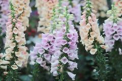 Λουλούδι Antirrhinum του λουλουδιού Snapdragon στον κήπο Στοκ Εικόνες