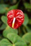 λουλούδι anturium Στοκ Εικόνες