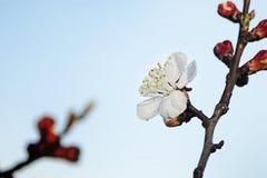 Λουλούδι Appricot Στοκ Εικόνες