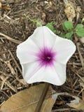 Λουλούδι aquatica Ipomoea στον κήπο φύσης Στοκ φωτογραφία με δικαίωμα ελεύθερης χρήσης