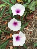 Λουλούδι aquatica Ipomoea Στοκ Εικόνες