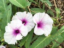 Λουλούδι aquatica Ipomoea Στοκ Εικόνα
