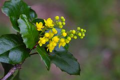 Λουλούδι aquifolium Mahonia Στοκ εικόνες με δικαίωμα ελεύθερης χρήσης