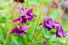 Λουλούδι Aquilegia Στοκ Εικόνα