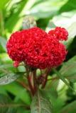 Λουλούδι argentea Celosia στον κήπο φύσης Στοκ εικόνα με δικαίωμα ελεύθερης χρήσης
