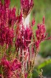 Λουλούδι argentea Celosia στον κήπο φύσης Στοκ Φωτογραφίες