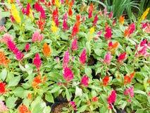 Λουλούδι argentea Celosia στον κήπο φύσης Στοκ Εικόνες