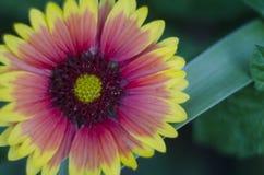 Λουλούδι aristata Gaillardia στον κήπο Πορτοκαλί και κίτρινο θερινό λουλούδι Στοκ Φωτογραφίες