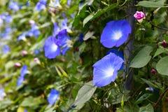 Λουλούδι Asagao Στοκ εικόνα με δικαίωμα ελεύθερης χρήσης