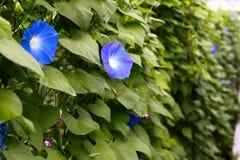 Λουλούδι Asagao Στοκ Εικόνες