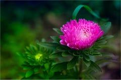 Λουλούδι Astra στοκ φωτογραφίες με δικαίωμα ελεύθερης χρήσης