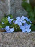 Λουλούδι auriculata Plumbago Στοκ φωτογραφία με δικαίωμα ελεύθερης χρήσης