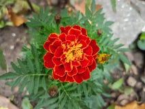 Λουλούδι Blackbringer Στοκ Εικόνες