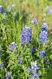 Λουλούδι Bluebonnet, λουλούδι κινηματογραφήσεων σε πρώτο πλάνο στο Τέξας, ΗΠΑ στοκ εικόνες